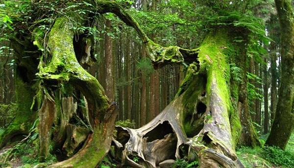 Ufos hoia baciu la danse des arbres 1